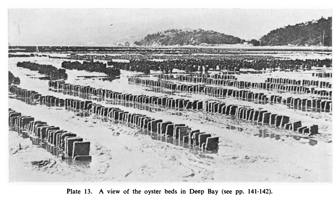 1975 Oyster Cultivation in Hong Kong
