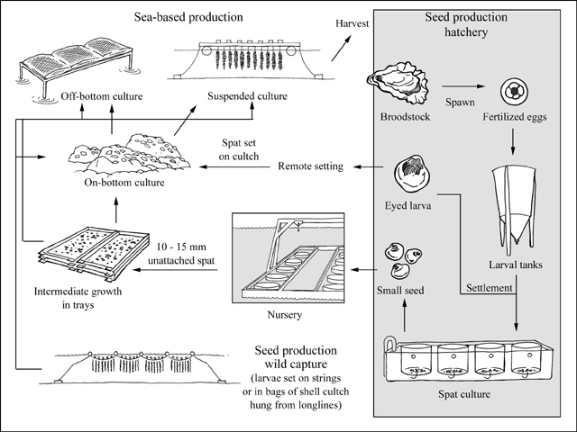 Bivalve Production in China