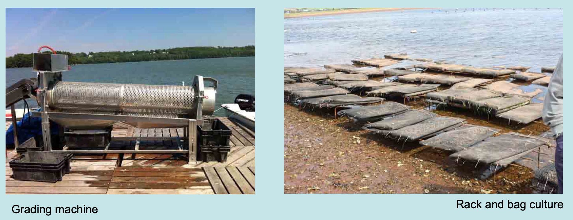 Eastern Oyster Production in Maine: A Basic Review