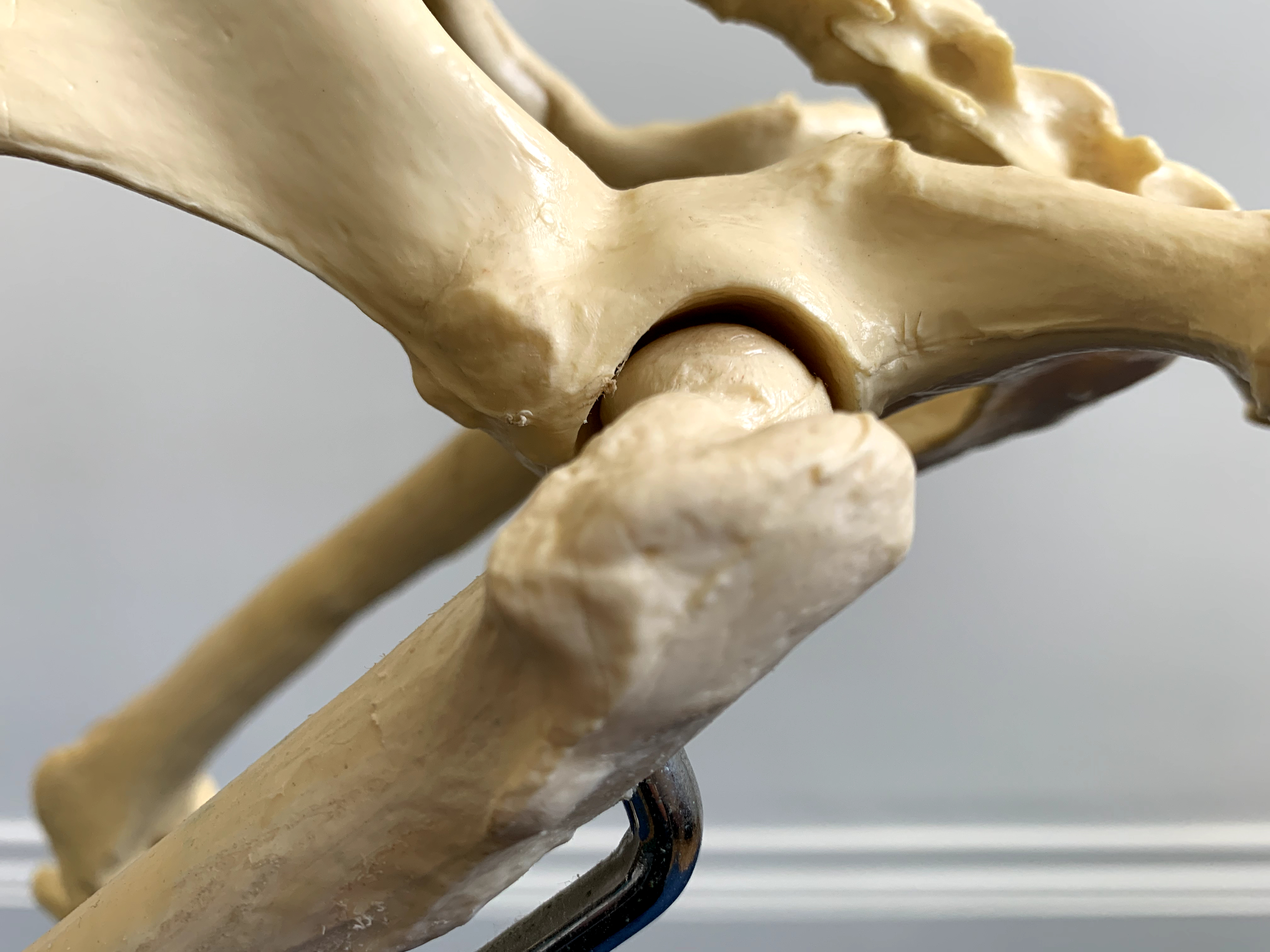The hip joint consists of the femoral head of the femur and the os coxae of the pelvis. The hip joint is a synovial ball and socket joint.