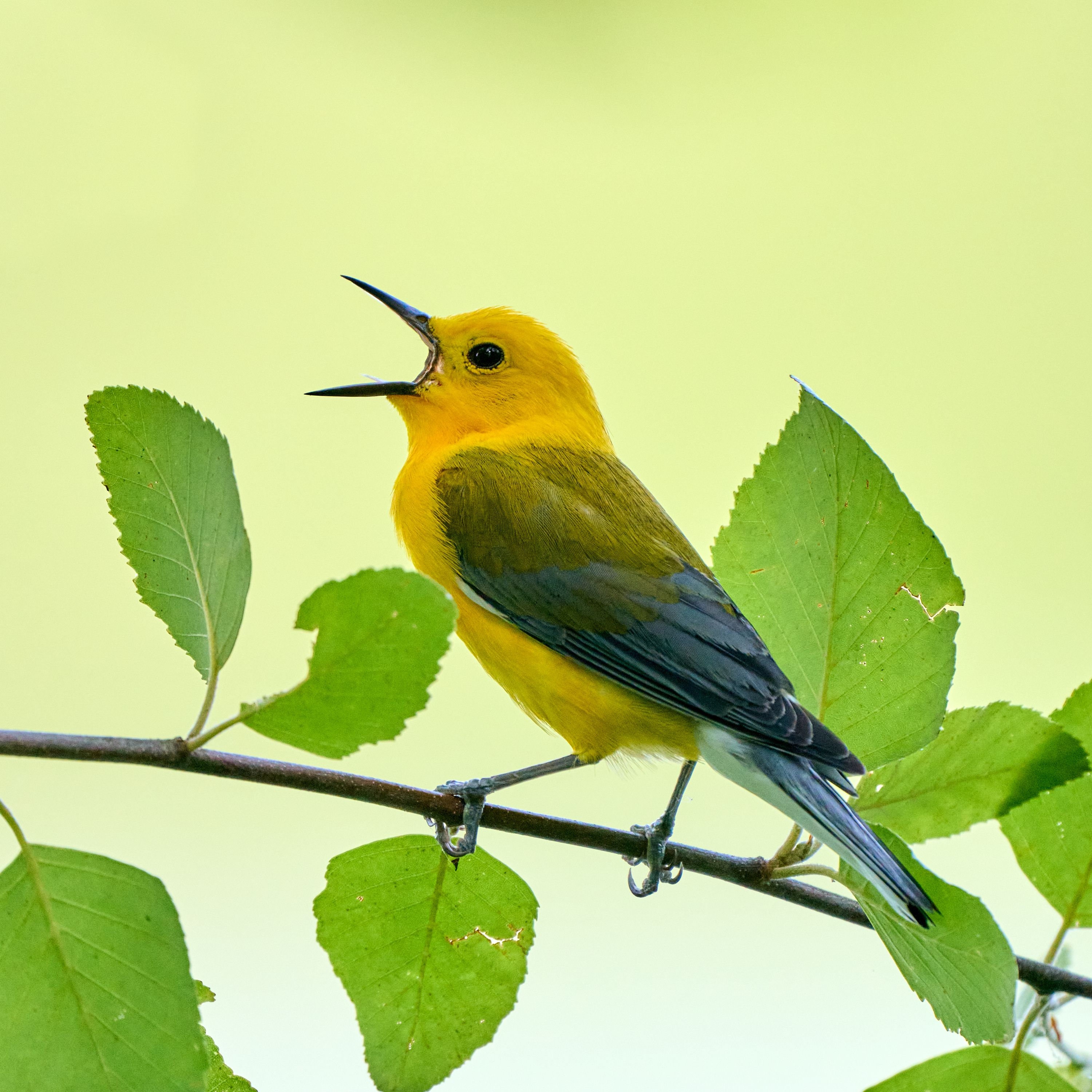 A Prothonotary Warbler giving some feedback on the company's performance review process.